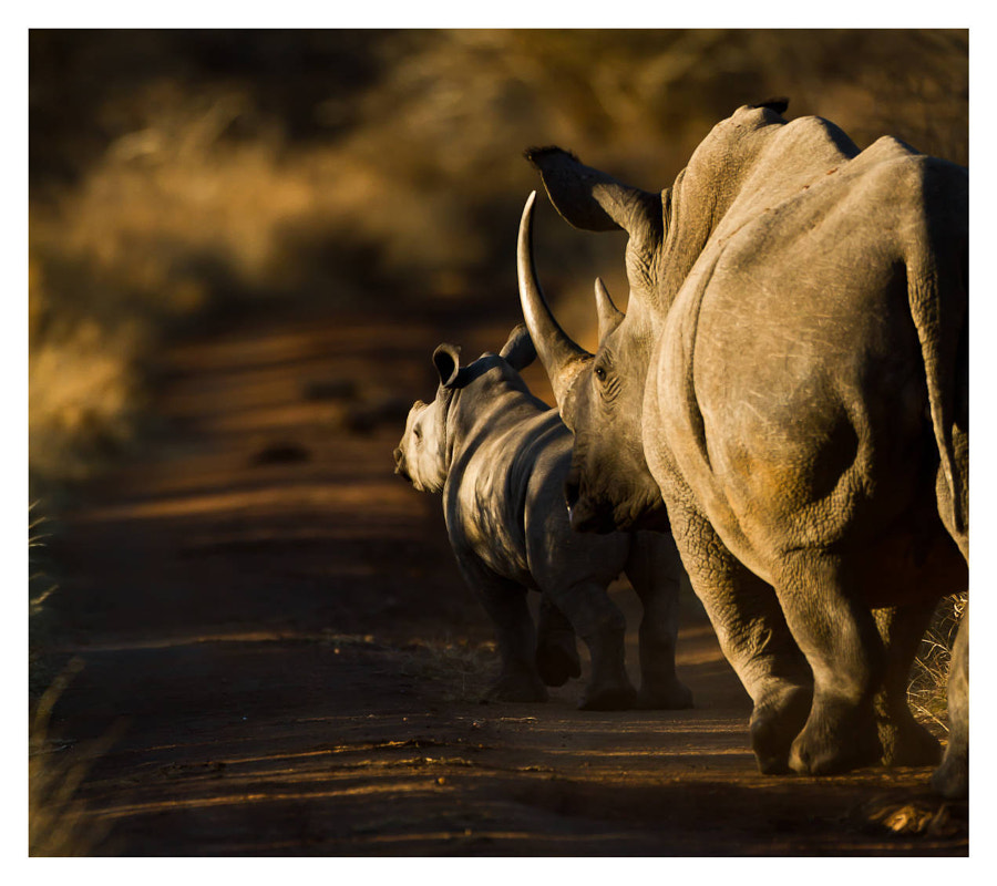 Rhino Horn by Pravin Kalpage on 500px.com