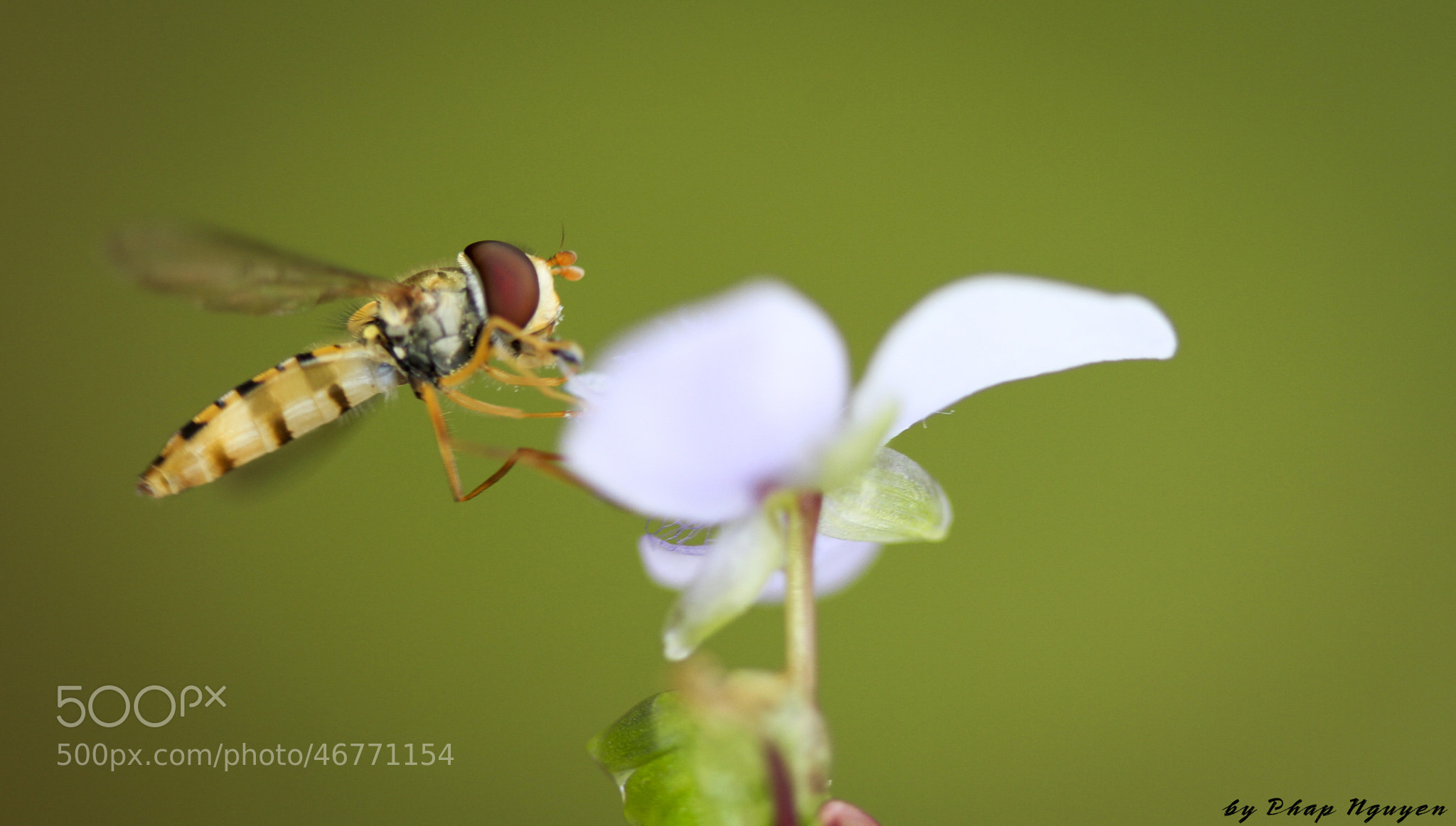 Photograph Bee by PN  Photo on 500px