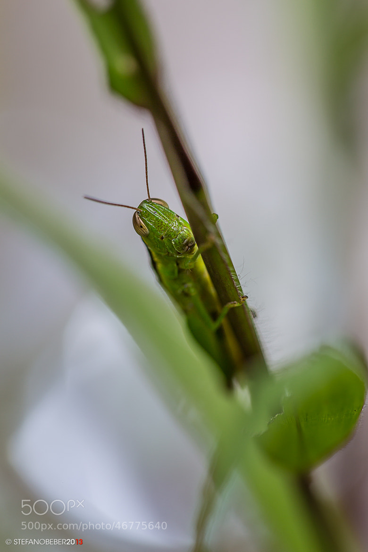 Photograph Green grasshopper by Stefano Beber on 500px