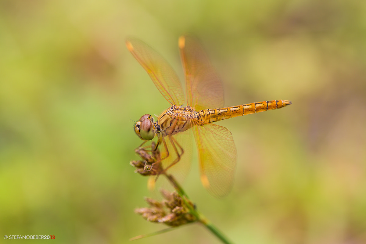 Photograph Dragonfly by Stefano Beber on 500px