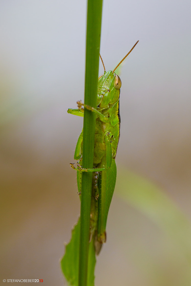 Photograph Green grasshoper by Stefano Beber on 500px