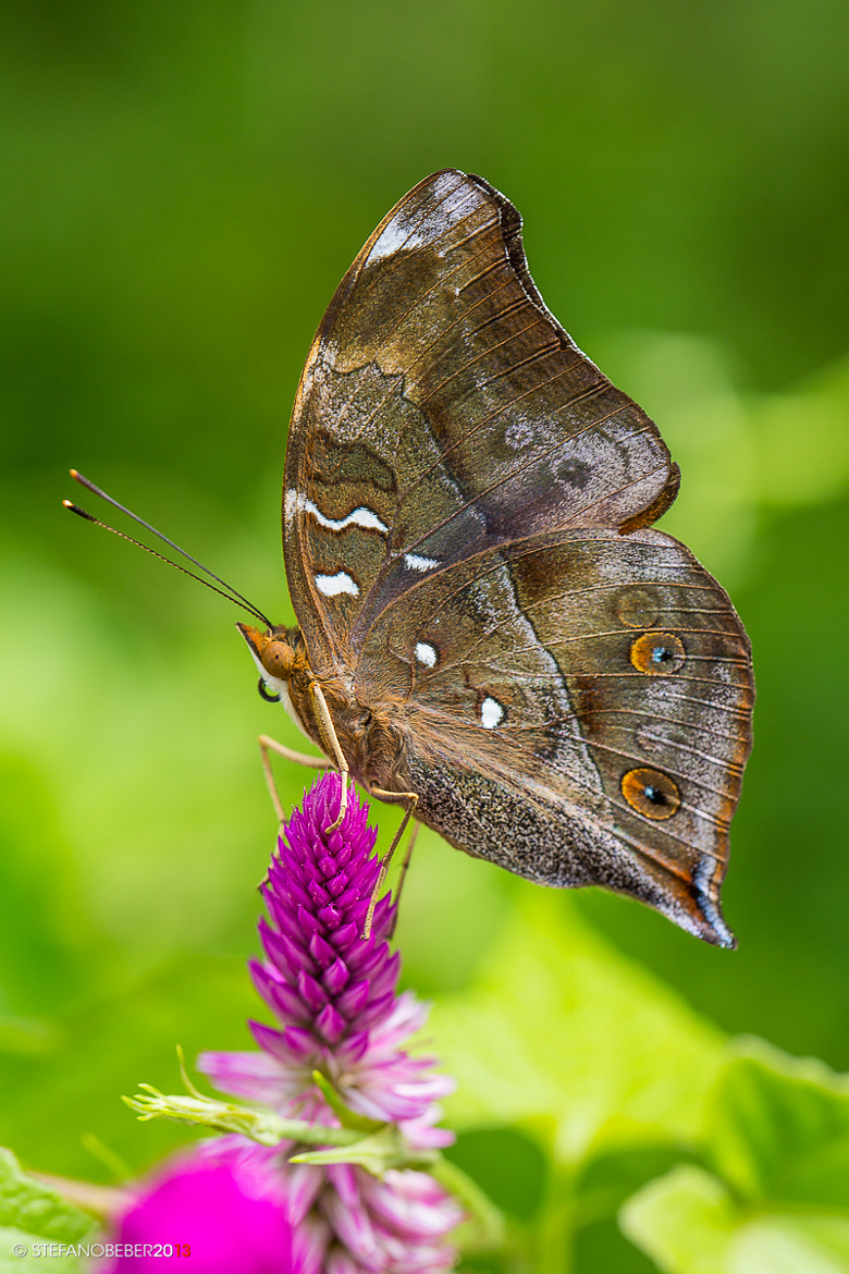 Photograph Butterfly by Stefano Beber on 500px