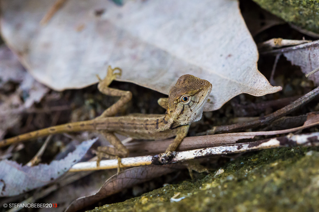 Photograph Small lizard by Stefano Beber on 500px