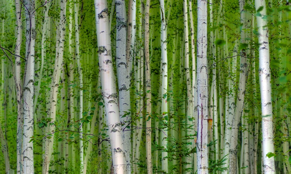 Photograph Amidst the Birches by Mark Routt on 500px