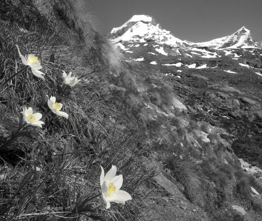 The Flowers of Gran Paradiso
