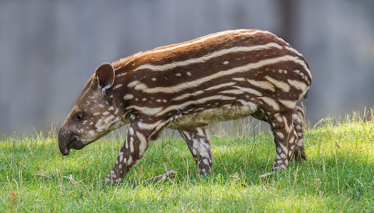 Photograph South American tapir (Tapirus terrestris) by Jean-Claude Sch. on 500px