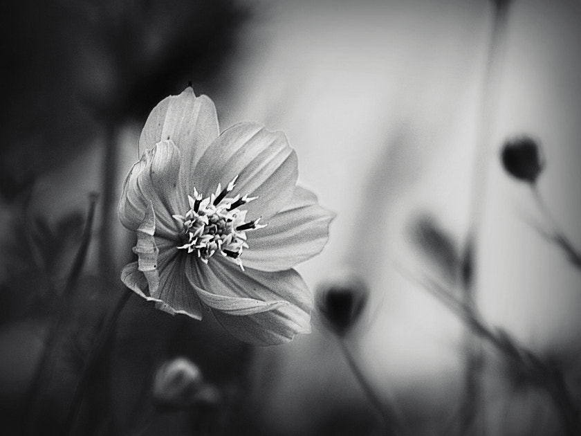 Photograph Flower B&W by Diana  Duque  on 500px