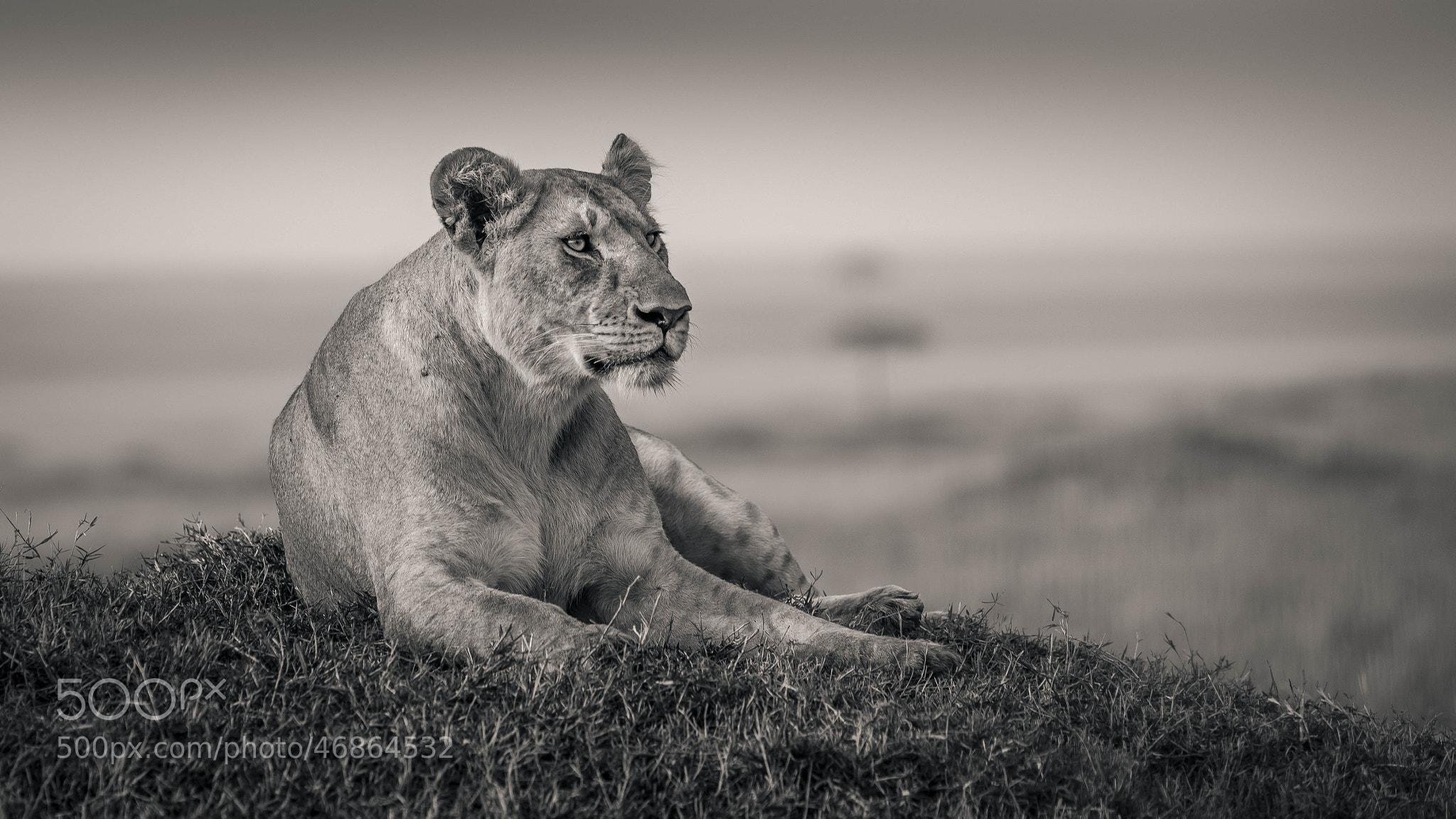 Photograph B&W Lioness by Craig Brady on 500px