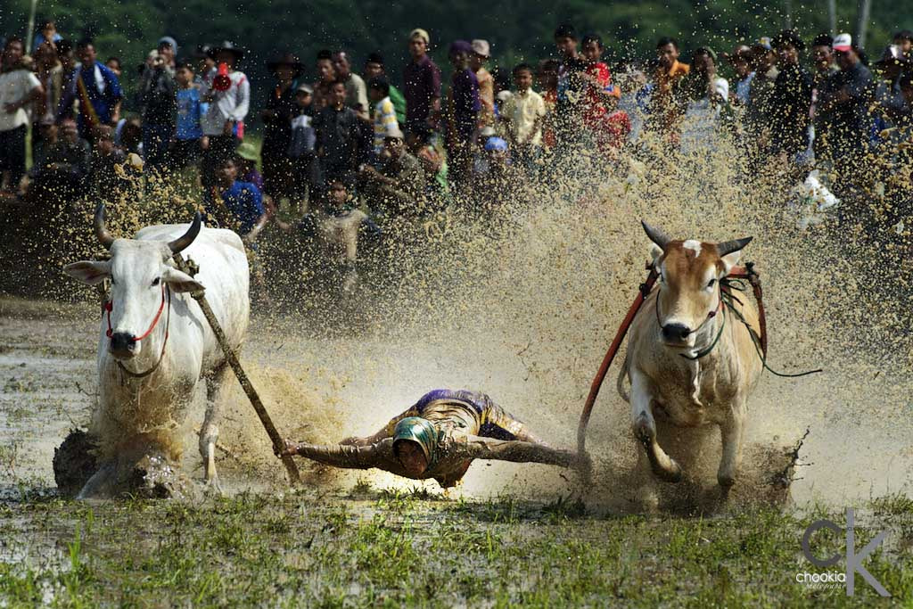 Photograph Pacu Jawi Cow's Race # 3 by CK NG on 500px