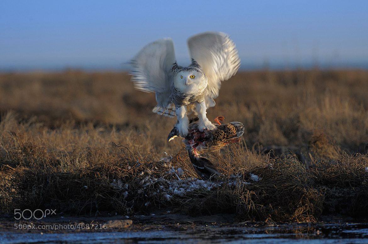 Photograph Snowy owl hunting by Norman Ng on 500px