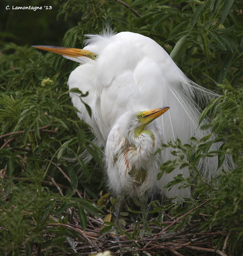 Mother Egret and her chick looking in each direction waiting for dad to come home with dinner. Eventually he did :)