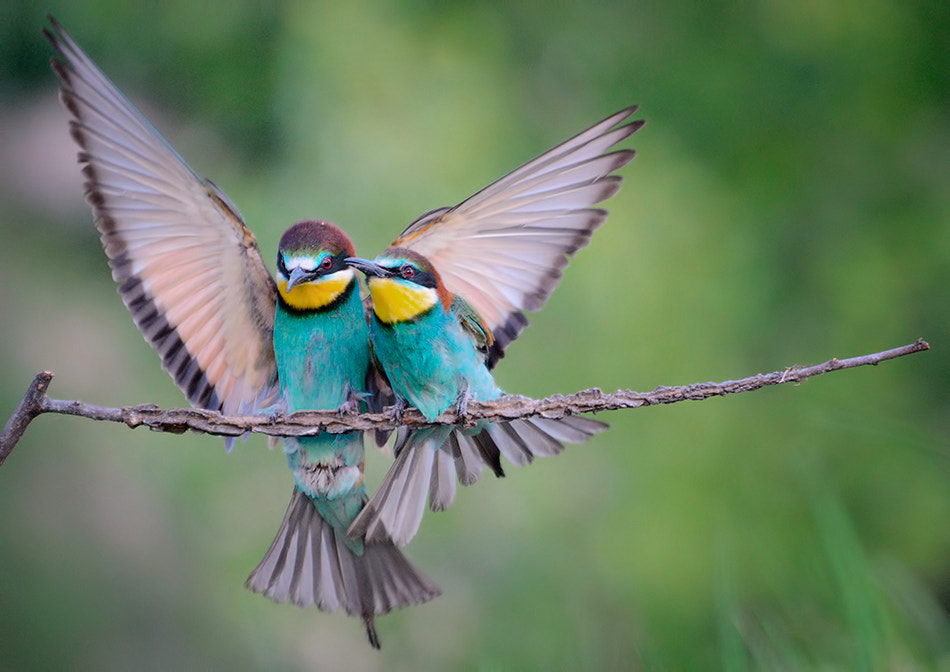 Photograph Bee eaters by Ivan Kavaldzhiev on 500px