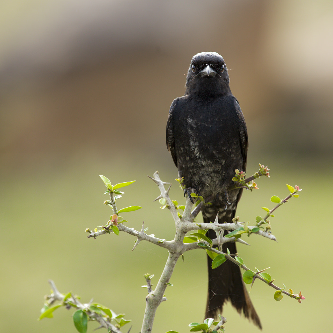 Photograph The Aggressive Black Drongo! by Vinoth Chandar on 500px