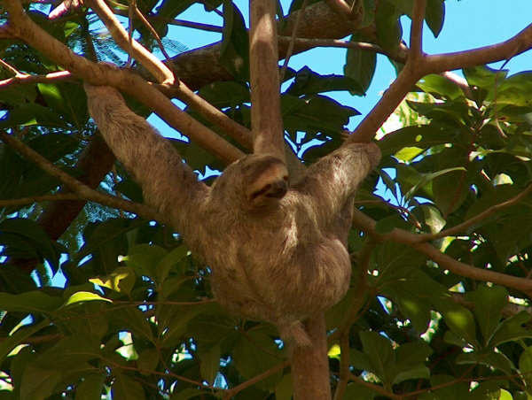 Photograph Three toed sloth by Henar Lanchas on 500px