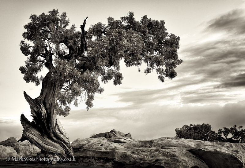 Photograph Juniper Tree by Mark Sykes on 500px