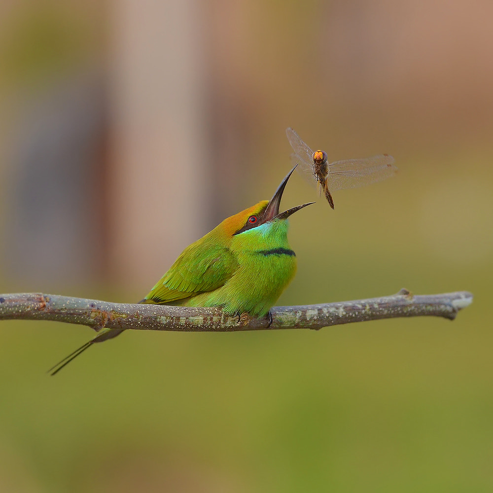 Photograph Green Bee Eater by MySingle on 500px