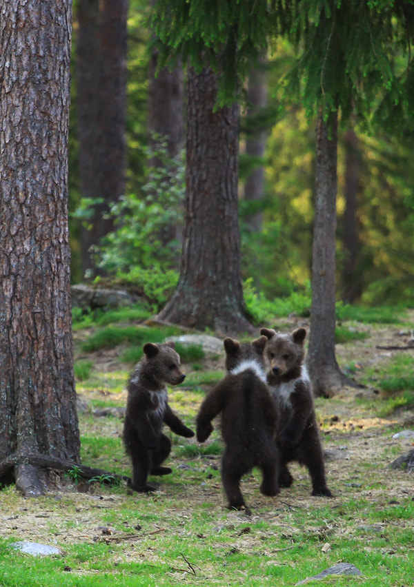 Finnish bears ... by Valtteri Mulkahainen on 500px.com