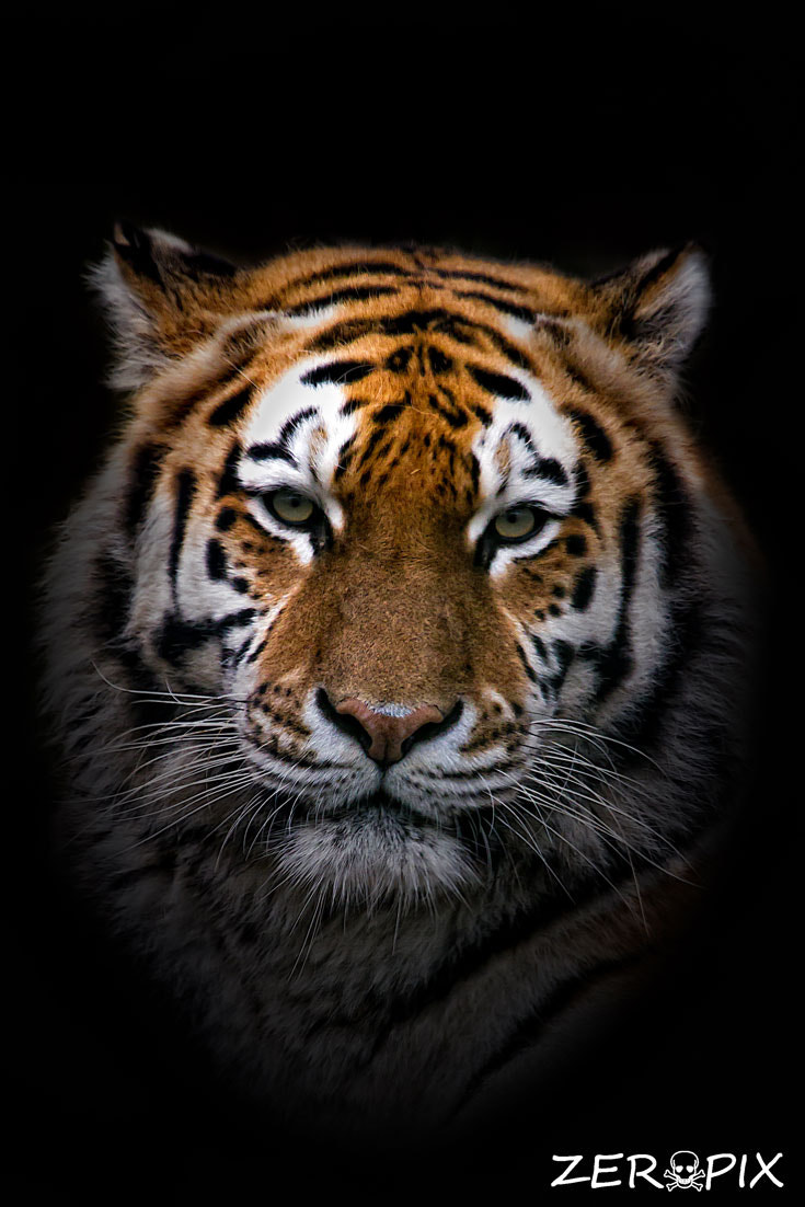 Photograph Portrait of a Tiger by ZeroPix Photography on 500px