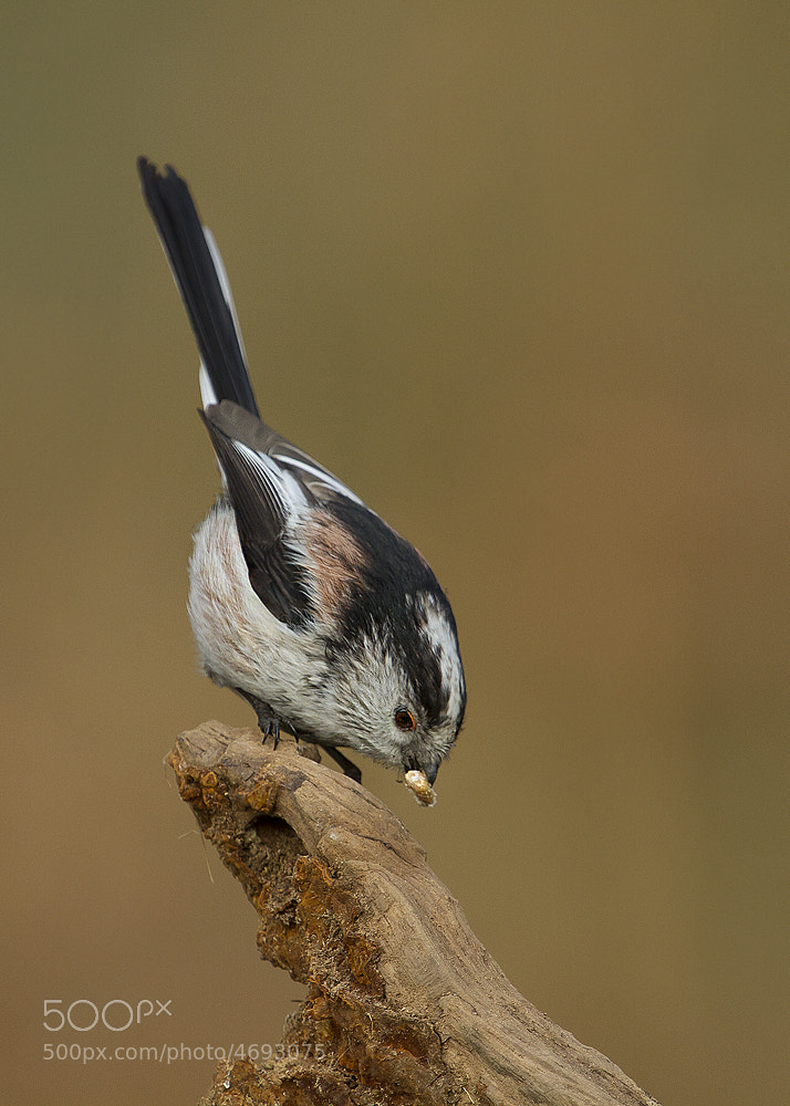 Photograph Long-tailed Tit by Richard Bond on 500px