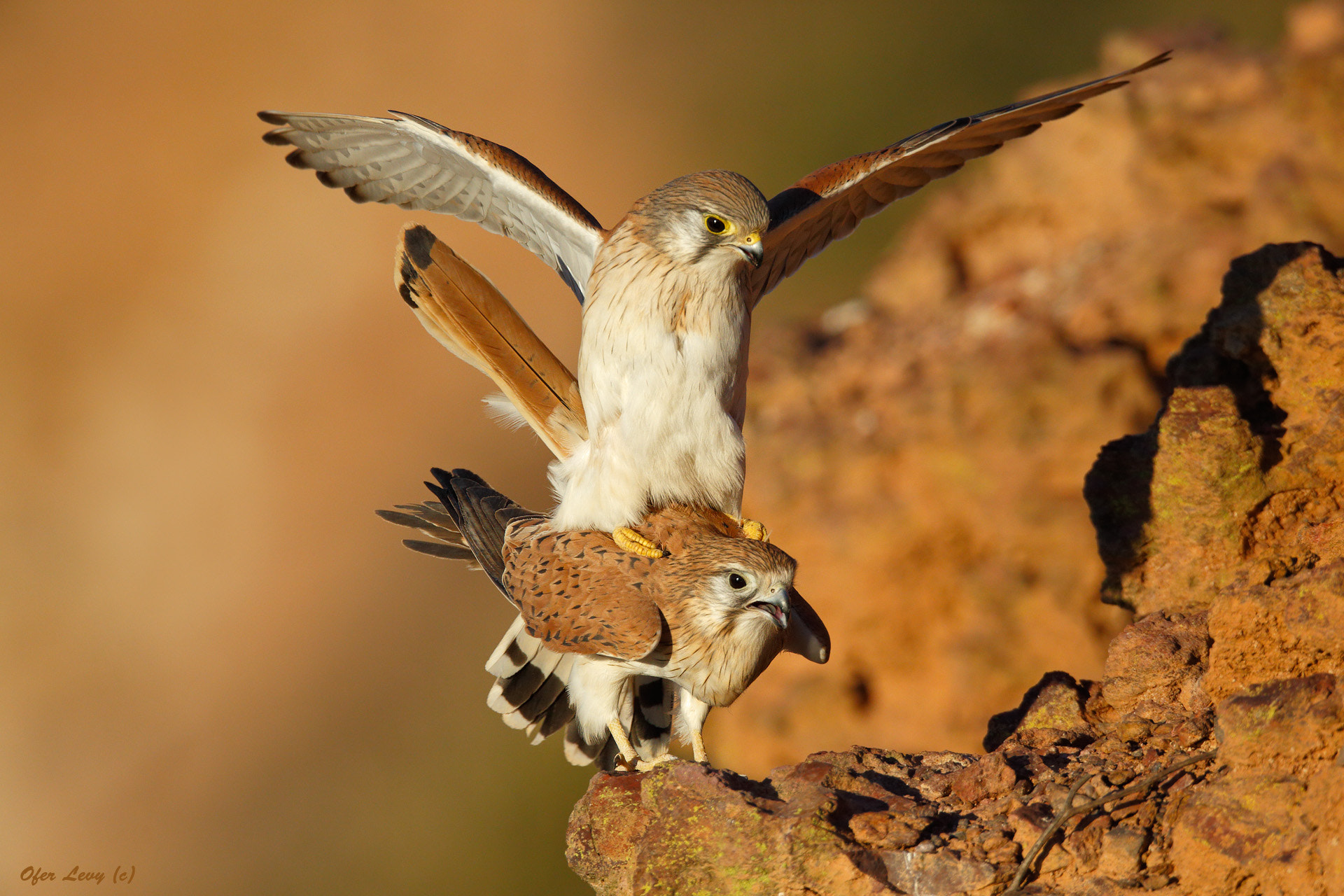 Photograph Kestrels mating by Ofer Levy on 500px