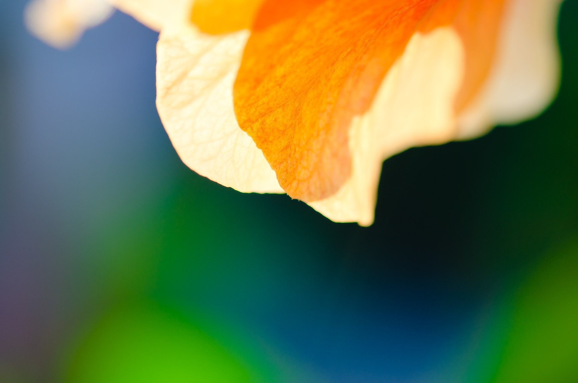 Photograph Orange hibiscus glow by Tom Tolkien on 500px