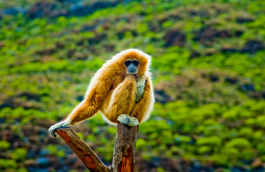 Photograph White handed gibbon by Tom Tolkien on 500px