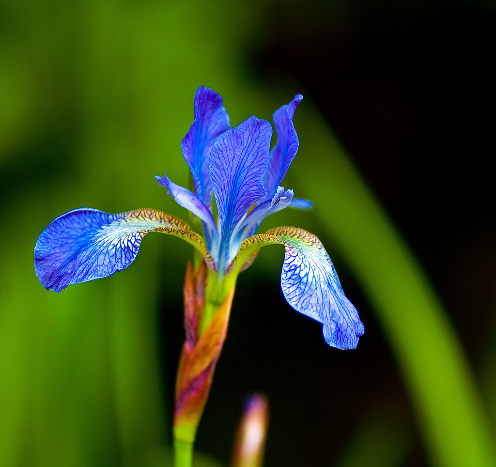 Photograph Flag Iris by Tom Tolkien on 500px