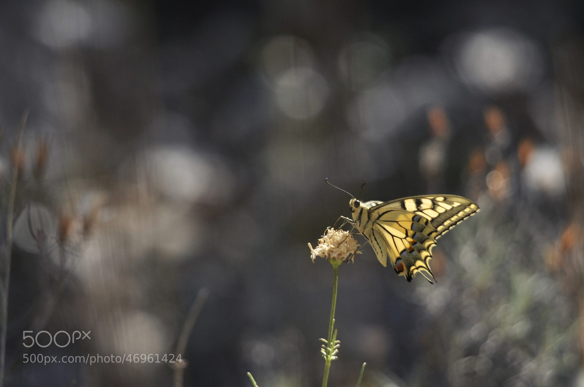 Photograph The butterfly effect (machaon) by Sébastien  Delarbre  on 500px