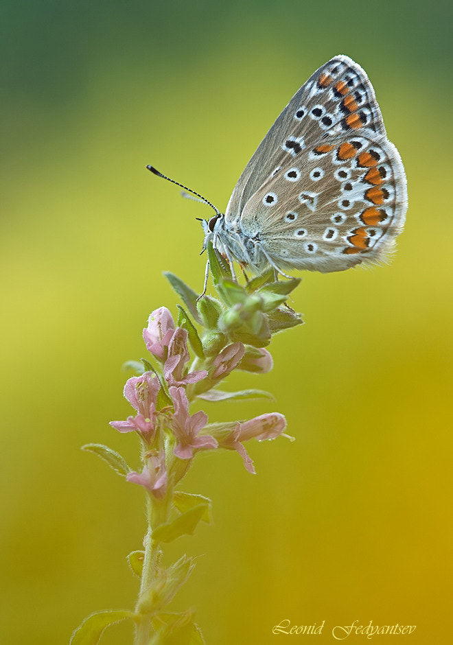 Photograph The Common Blue by Leonid Fedyantsev on 500px