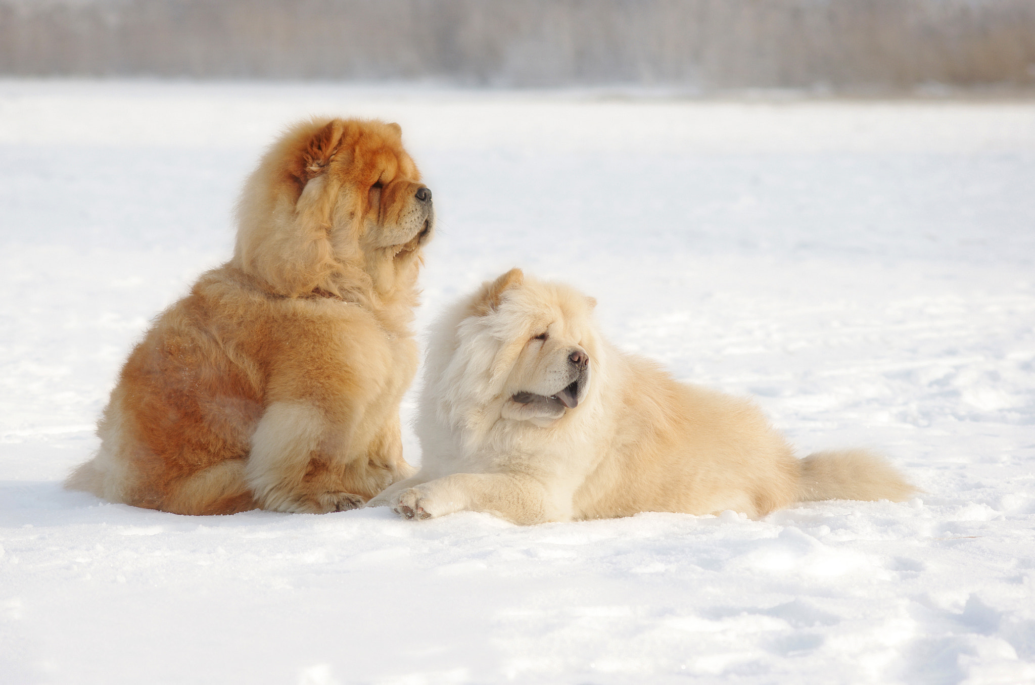 Photograph chow-chow by Vladimir Volodin  on 500px