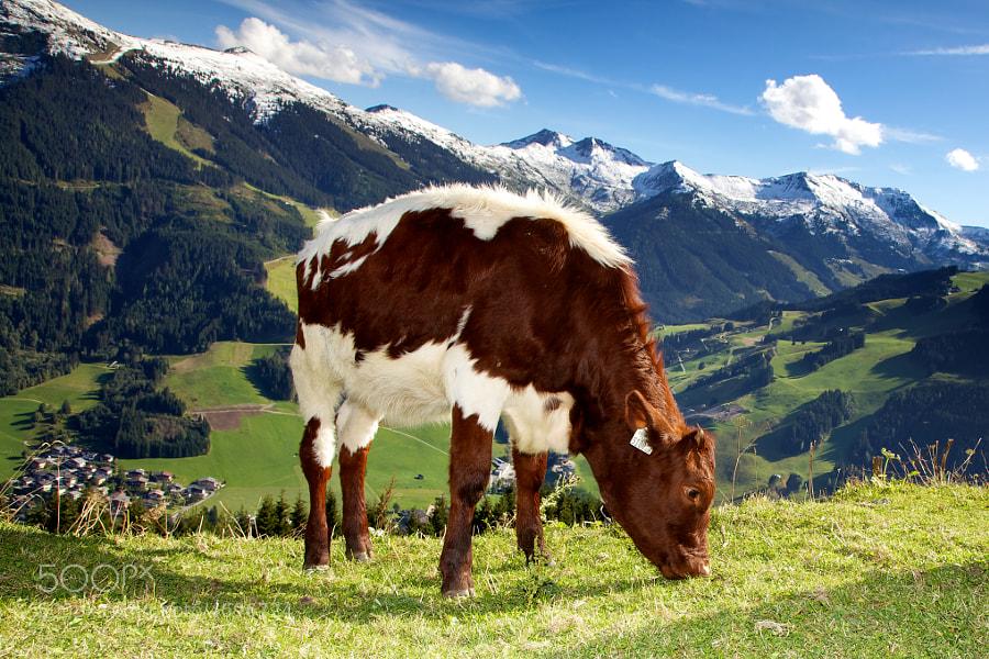 cow by Mark Bridger (bridgephotography) on 500px.com