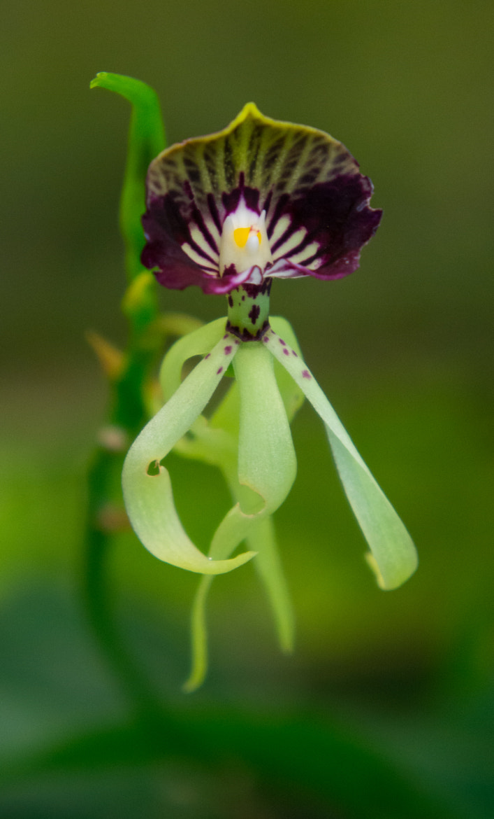 Photograph Prosthechea Cochleata by Lluís Grau on 500px