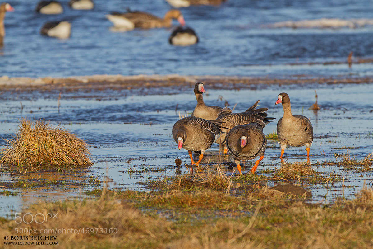 Photograph Greater White-fronted Geese (Anser albifrons) by Boris Belchev on 500px
