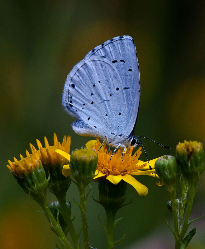 Photograph holly blue  by dave blackwell on 500px