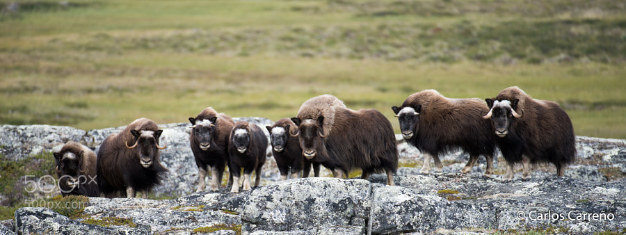 Photograph Muskox Family Portrait by Carlos Carreño on 500px