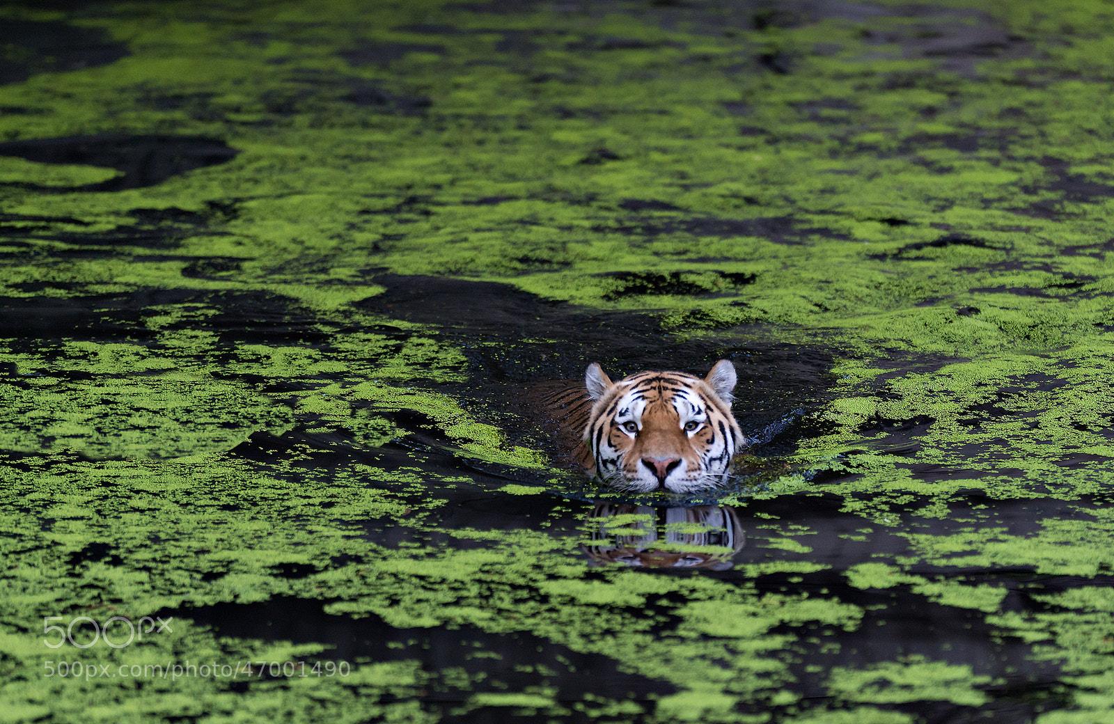 Photograph Swiming tiger by Henrik Vind on 500px