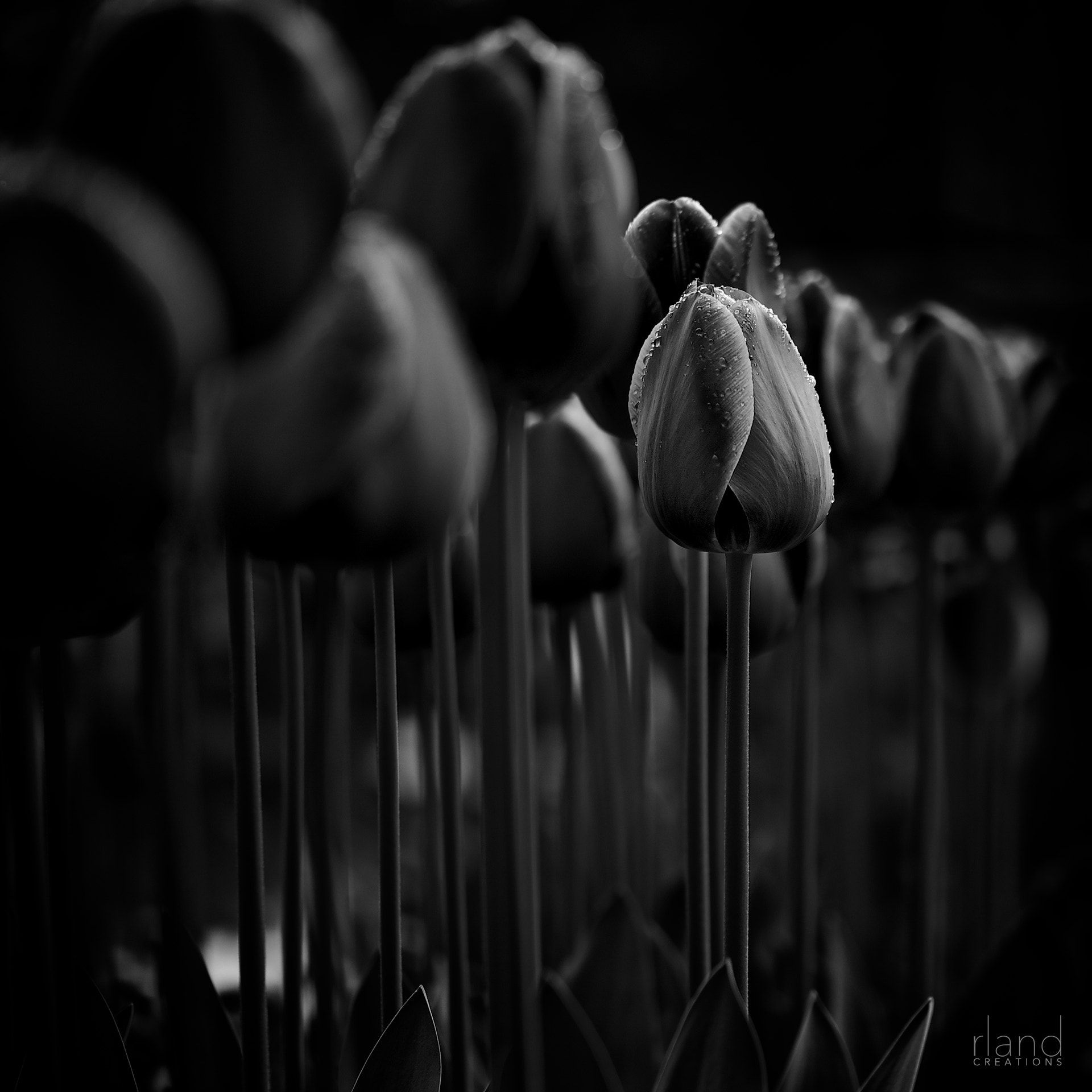Photograph Nightulip by Roland Maria Reininger on 500px