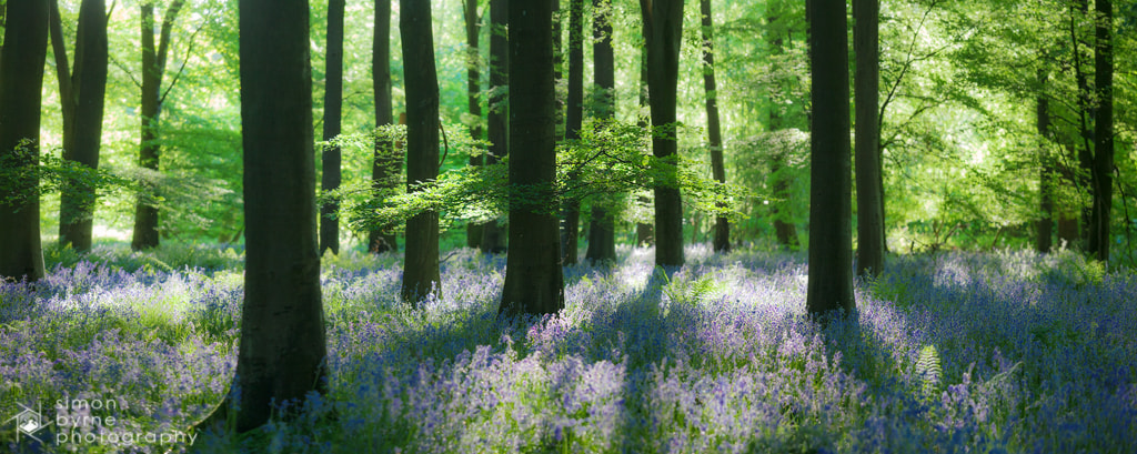 Photograph Micheldever bluebells, Hampshire by Simon Byrne on 500px