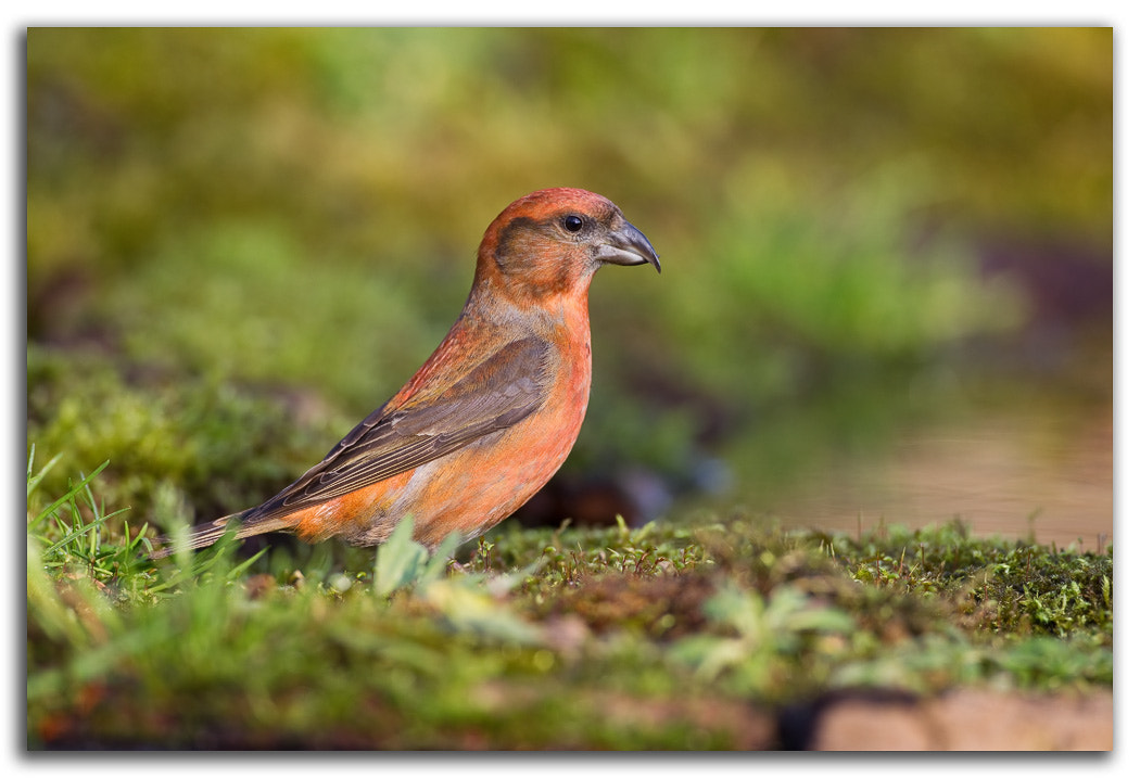 Photograph Common Crossbill by David Whistlecraft on 500px