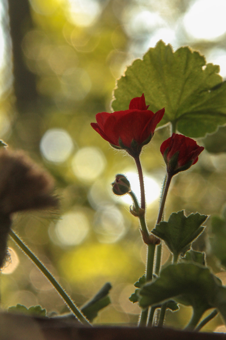 Photograph Geranium by Andy Operchuck on 500px
