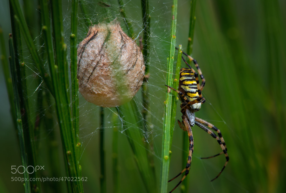 Photograph Spinne mit Cocon by Lale  Wollnik on 500px