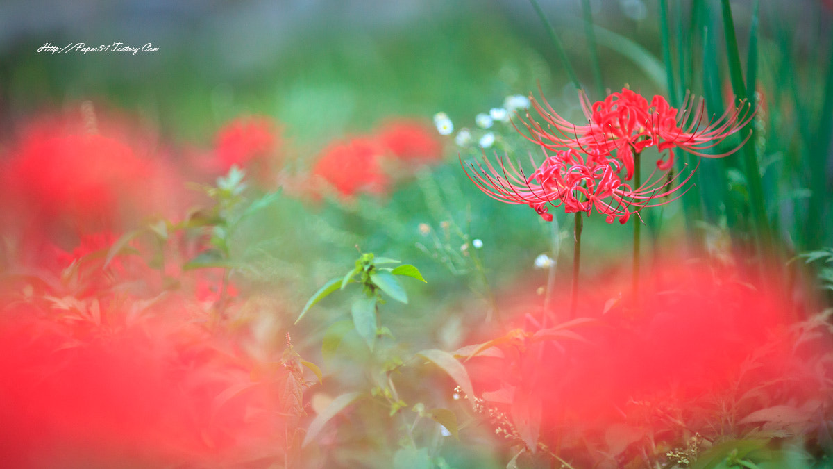 Photograph red spider lily by kim chaejin on 500px