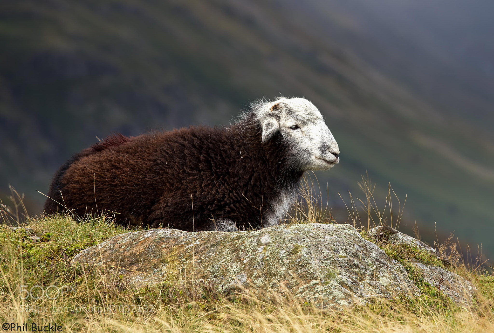 Photograph Herdwick by Phil Buckle on 500px