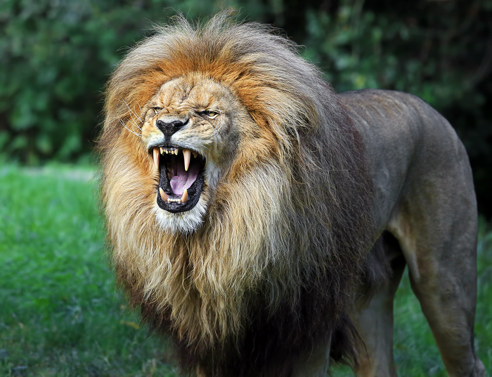 Photograph Angola Lion by Klaus Wiese on 500px