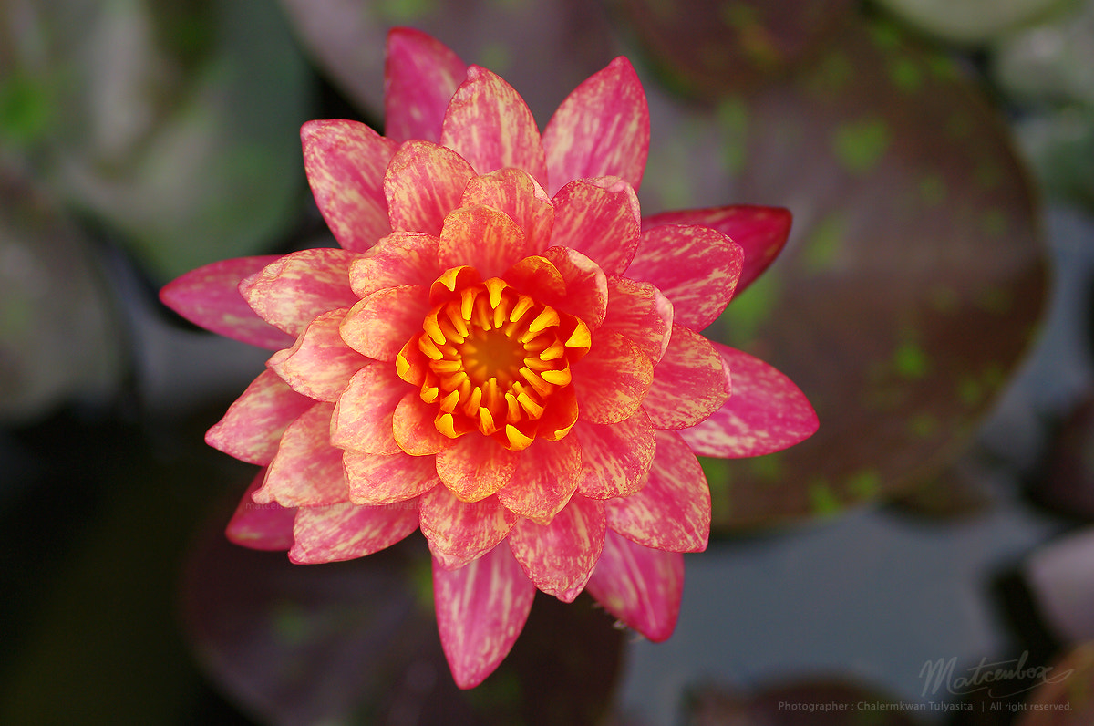 Photograph wanvisa water lily by Matcenbox  on 500px