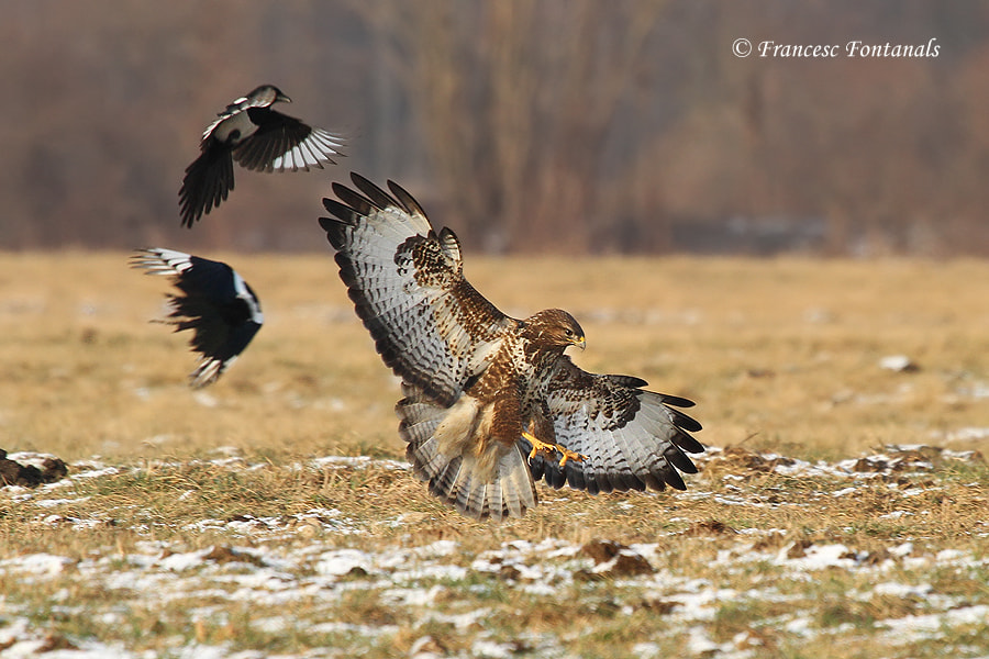 Photograph Ratonero (Buteo buteo) by Francesc Fontanals  on 500px
