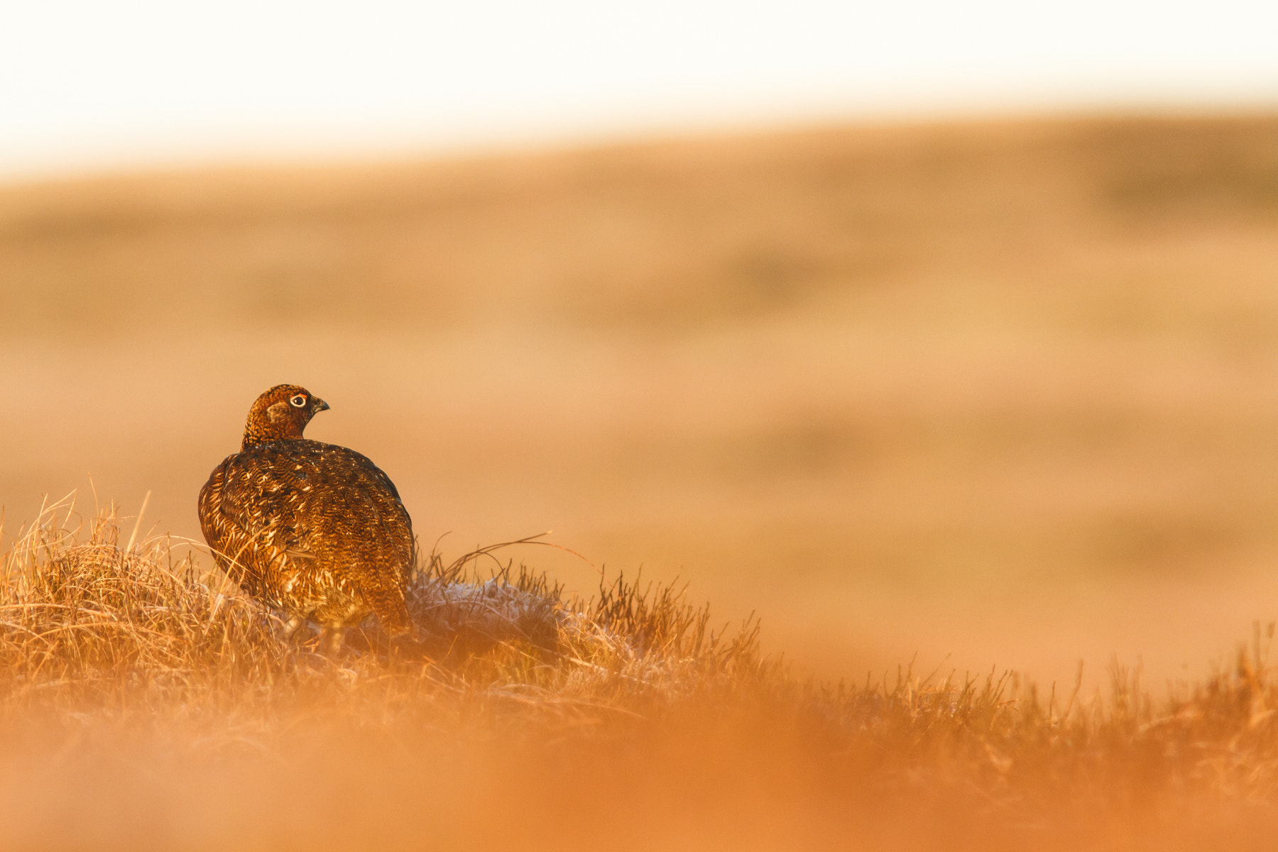 Photograph Golden Grouse by Mark Ellison on 500px