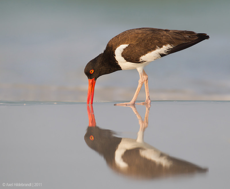 Photograph Oystercatcher Reflection by Axel Hildebrandt on 500px