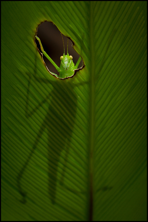 Photograph The Katydid by Steve Passlow on 500px