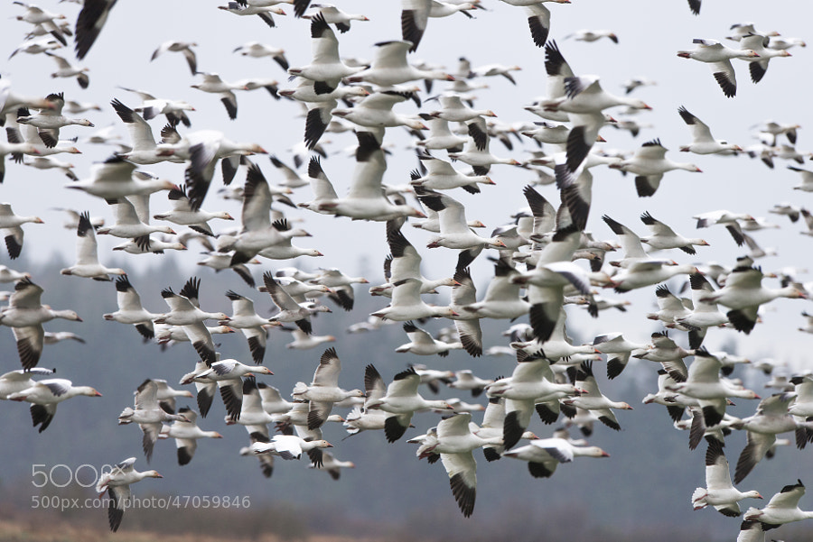 Around West 90 I saw a flock of around 8,000 snow geese in the fields.  A few hours later, I drove down to Eide road and encountered another massive flock, this time probably around 2,000 - 3,000 in size.  Watching them all take off and fly by me was quite the experience.